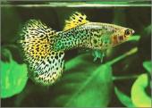 Гуппи Леопард самцы (Шри-Ланка)